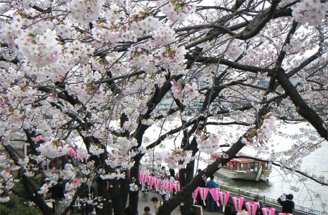 Sumidagawa sakura l